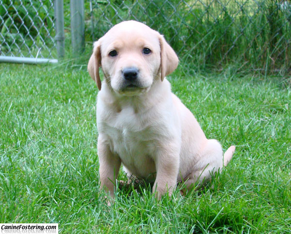 golden retriever mixed with lab. Golden Retriever/Labrador