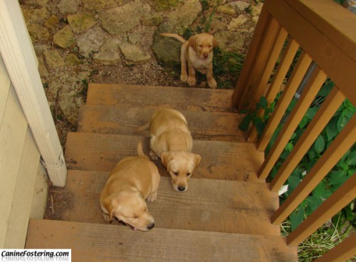 pups on stairs