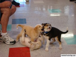 Puppies learning how to inhibit their bite so that play can continue.