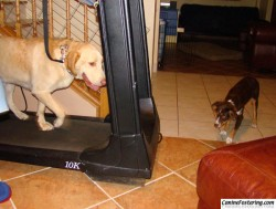 Teddy watching Otis on the treadmill