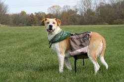 Jubilee with dog back pack, in autumn 2011